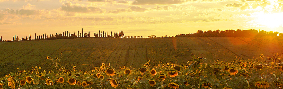 Sunflowers tuscany cortona tours